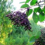 Wspomnienie lata. Dojrzewające owoce czarnego bzu