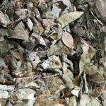 Herbatka gurmar (gymnema sylvestre)